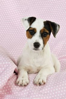 JD-22240 DOG. Parson jack russell terrier puppy lying on spotty blanket
