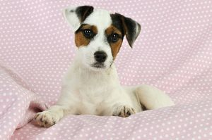 JD-22241 DOG. Parson jack russell terrier puppy lying on spotty blanket