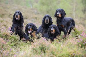 JD-22242 DOG. Gordon Setters sitting in heather