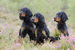 JD-22243 DOG. Gordon Setters sitting in heather