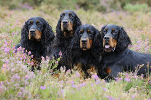 JD-22244 DOG. Gordon Setters sitting in heather