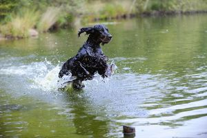 JD-22252 DOG. Gordon setter leaping through lake