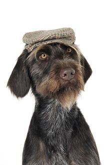 JD-22266 Dog. German Wire-Haired Pointer with hat on