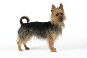JD-22275 Dog. Australian Terrier