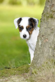 JD-22296 DOG. Parson jack russell terrier puppy looking out from behind tree