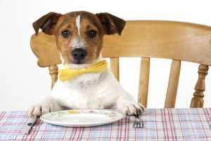 JD-22300 DOG. Jack russell terrier wearing bow tie sitting at table