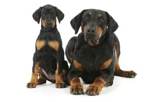JD-22311 Dog. Dobermann puppy and adult