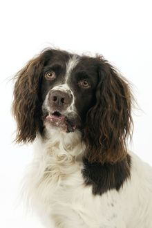 JD-22320 DOG. English springer spaniel close up head and shoulders