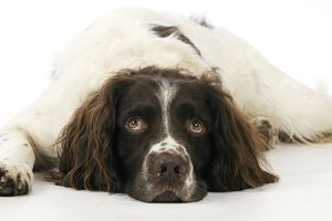 JD-22321 DOG. English springer spaniel lying down close up