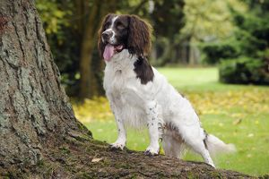 JD-22322 DOG. English springer spaniel standing on tree root