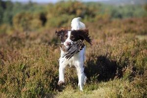 JD-22323 DOG. English springer spaniel running through heather carrying grouse