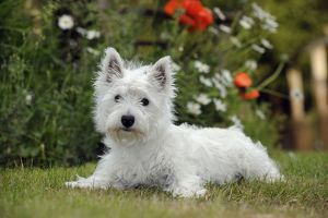 JD-22381 DOG. West highland white terrier puppy
