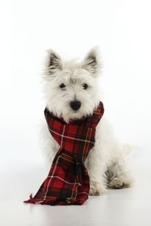 JD-22388 DOG. West highland white terrier puppy wearing tartan scarf