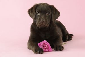 JD-22393 DOG. Chocolate Labrador puppy lying down with rose