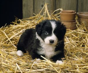 JD-2565 Border Collie Dog - puppy in straw