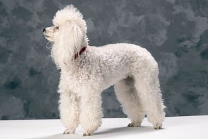 JD-4426 TOY POODLE DOG