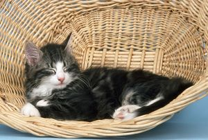 JD-5778 Norwegian Forest CAT - in basket