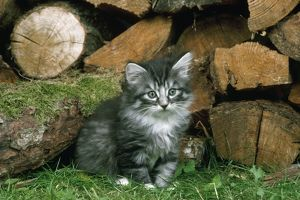 JD-6861 Norwegian Forest CAT - kitten by logs