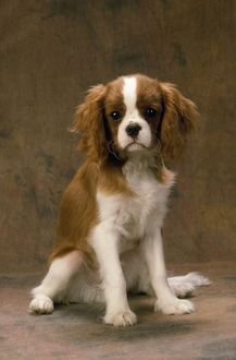 JD-7241 Cavalier King Charles Spaniel Dog