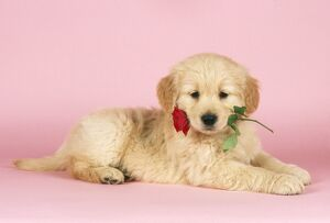 DOG - Golden Retriever Puppy with rose