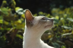 JPF-1176 CAT - Lilac point Siamese