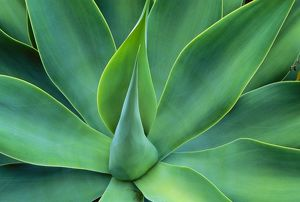 JPF-13446 Agave Leaves