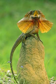 JPF-13899 Frilled Lizard - Defensive display perched on termite mound - Kakadu National Park