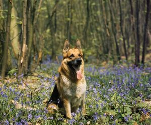 JPF-171 DOG - Alsatian / German Shepherd in bluebells