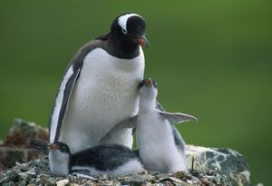 JPF-8768 GENTOO PENGUIN - adult and young