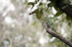 Jungle owlet - on branch