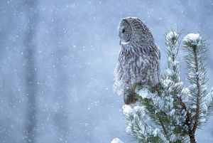 JZ-1515 GREAT GREY OWL - on tree, in snow