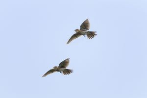Skylark - two in flight - singing