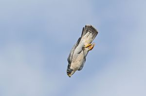 Peregrine Falcon - adult in flight
