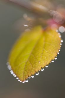Katsura Tree - Leaf with dew drops