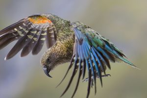 Kea - in flight about to land on the ground showing off its colourful red and blue