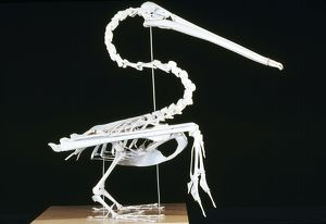 KEL-1152 Brown Pelican Skeleton - coastal California