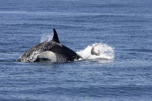 Killer whale / Orca - activity during an attack on young Northern Elephant seal
