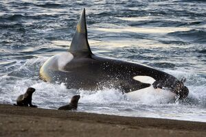 Killer whale / Orca - The adult male known as 'MEL', 45 to 50 years old