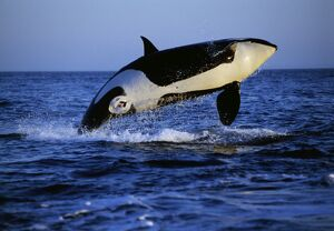 Killer Whale / Orca - breaching
