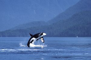 Killer whale / Orca - male, breaching