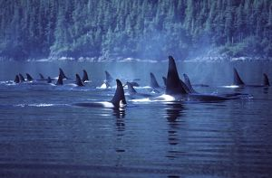 Killer Whale / Orca - Several pods came together to form a 'superpod'.