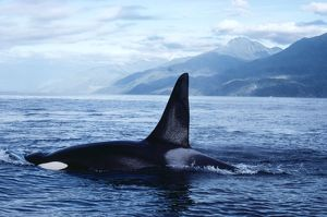 KILLER WHALE / Orca - at surface, showing dorsal fin
