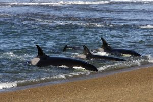 Killer whale / Orcas practicing intentional stranding