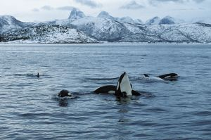 Killer whale - this population of killer whales feed on herring