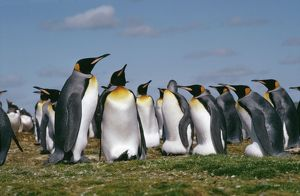 King PENGUIN - adults in colony