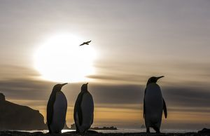King Penguin adults walking on the beach at dawn