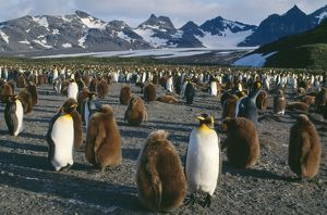 King PENGUIN - Breeding colony with 10 month old chicks