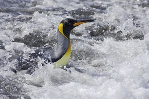 King Penguin - emerging from sea