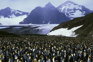 King Penguin - Incubating, with older chicks