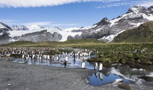 King Penguins at colony